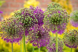 Raysperennials - Perenner, de vackraste av vackra blommor